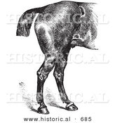 Historical Vector Illustration of Horse Anatomy Featuring Good Hind Quarters - Black and White Version by Al