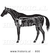 Historical Vector Illustration of Horse Anatomy Featuring the Circulatory System - Black and White Version by Al