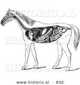 Historical Vector Illustration of Horse Anatomy Featuring the Digestive System - Black and White Version by Al