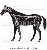 Historical Vector Illustration of Horse Anatomy Featuring the Nervous System - Black and White Version by Al