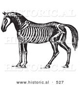 Historical Vector Illustration of Horse Anatomy Featuring the Skeleton - Black and White Version by Al