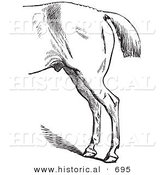 Historical Vector of a Horse's Anatomy with Bad Hind Quarters - Black and White Version by Al