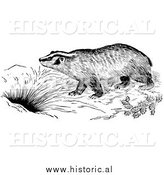 Illustration of a Badger by a Den - Black and White by Al