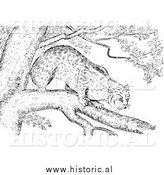 Illustration of a Bobcat Stalking from a Tree Branch - Black and White by Al