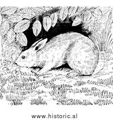 Illustration of a Cottontail Rabbit Sniffing Around Under a Shrub - Black and White by Al
