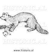 Illustration of a Marten - Black and White by Al