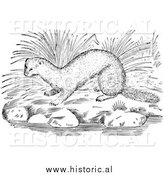 Illustration of a Mink Beside Water and River Rocks - Black and White by Al