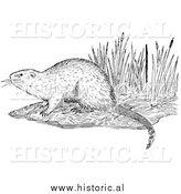 Illustration of a Muskrat on a Shore - Black and White by Al