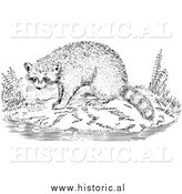Illustration of a Raccoon Beside Water - Black and White by Al