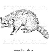 Illustration of a Raccoon - Black and White by Al