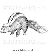 Illustration of a Skunk - Black and White by Al