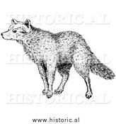 Illustration of a Sniffing Wolf - Black and White by Al