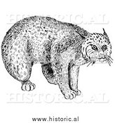 Illustration of a Still Bobcat Staring - Black and White by Al
