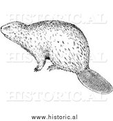 Illustration of a Wild Beaver - Black and White by Al