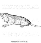 Illustration of a Wild Pocket Gopher - Black and White by Al