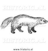 Illustration of a Wild Wolverine - Black and White by Al