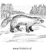 Illustration of a Wolverine Looking Around Meadow - Black and White by Al