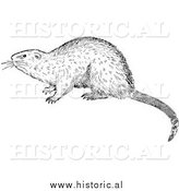 Illustration of an Alerted Muskrat - Black and White by Al