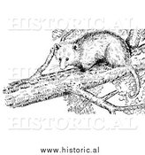 Illustration of an Opossum in a Tree - Black and White by Al