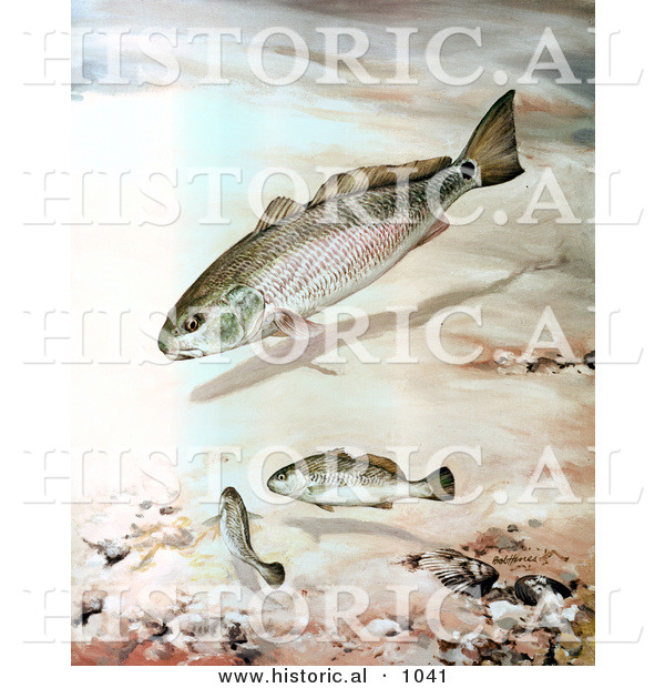 Historical illustration of a channel bass fish underwater for 1041 the fish