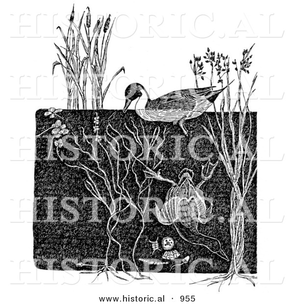 Historical Illustration of a Dabbler and Diving Ducks - Black and White Grayscale Version