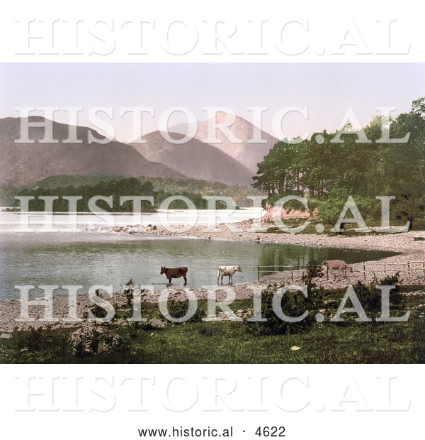 Historical Photochrom of Cows Wading in the Water, Derwent Water, Lake District, England