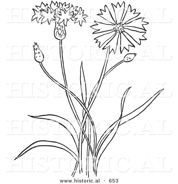 Historical Vector Illustration of a Bachelors Buttons Plant Flowering - Outlined Version