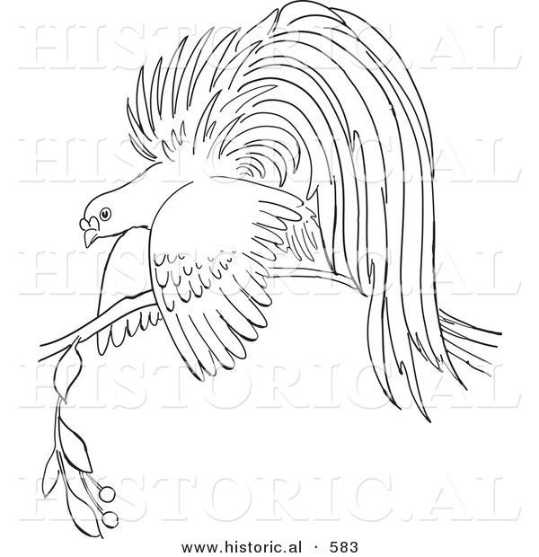 Historical Vector Illustration of a Bird of Paradise Resting on a Branch - Outlined Version