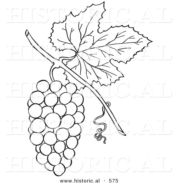 Historical Vector Illustration of a Bunch of Grapes with a Leaf on a Vine - Outlined Version