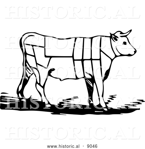 Historical Vector Illustration of a Cow Featuring Outlined Butcher Sections of Bullock - Black and White