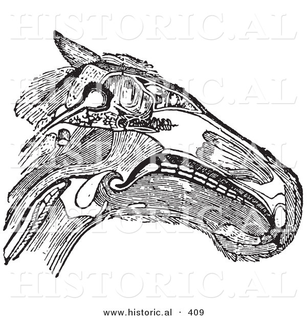 historical vector illustration of a horse head diagram