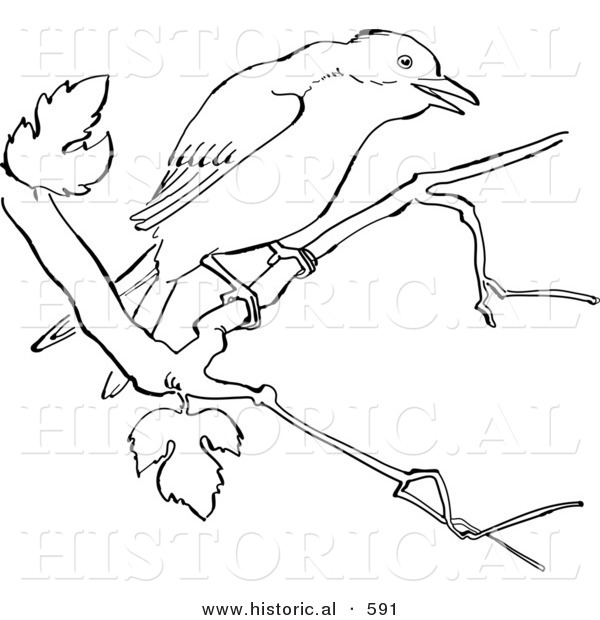 Historical Vector Illustration of a Mockingbird on a Tree Branch - Outlined Version
