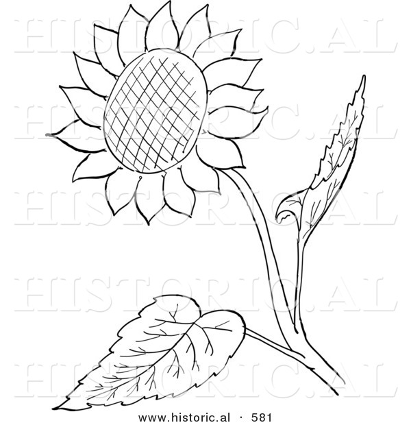 Historical Vector Illustration of a Sunflower with Seeds and Leaves - Outlined Version