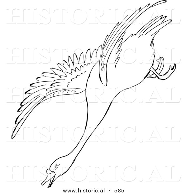 Historical Vector Illustration of a Swan Descending While Flying - Outlined Version