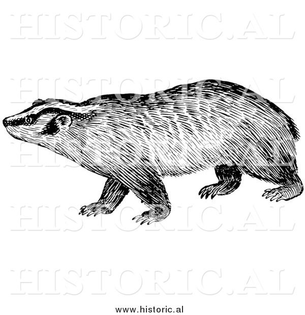 Illustration of a Badger Staring - Black and White