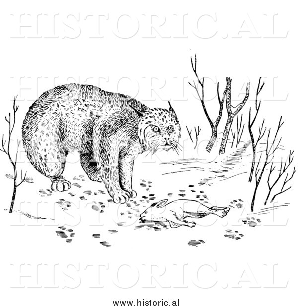 Illustration of a Bobcat over Dead Rabbit - Black and White