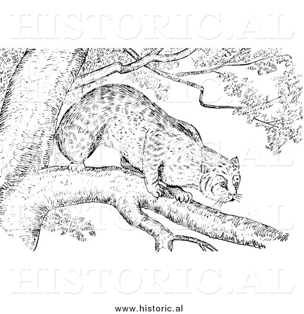 Illustration of a Bobcat Stalking from a Tree Branch - Black and White
