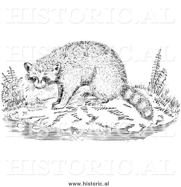 Illustration of a Raccoon Beside Water - Black and White