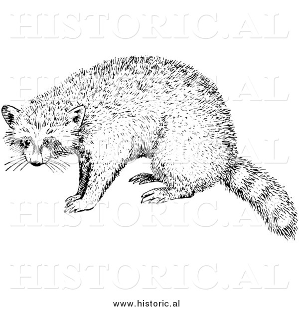 Illustration of a Raccoon - Black and White