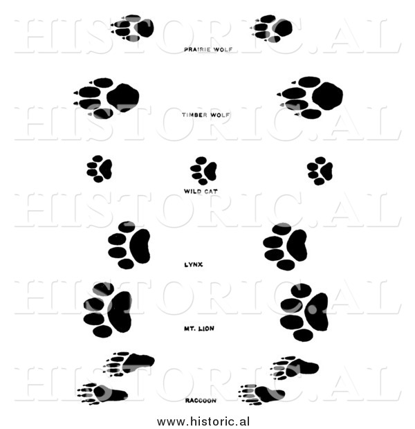 Illustration of a Raccoon, Wolf, and Wildcat Tracks - Black and White