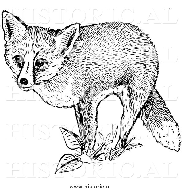 Illustration of a Red Fox Posing on Plants - Black and White