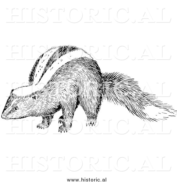 Illustration of a Skunk - Black and White