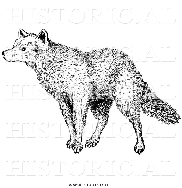 Illustration of a Sniffing Wolf - Black and White