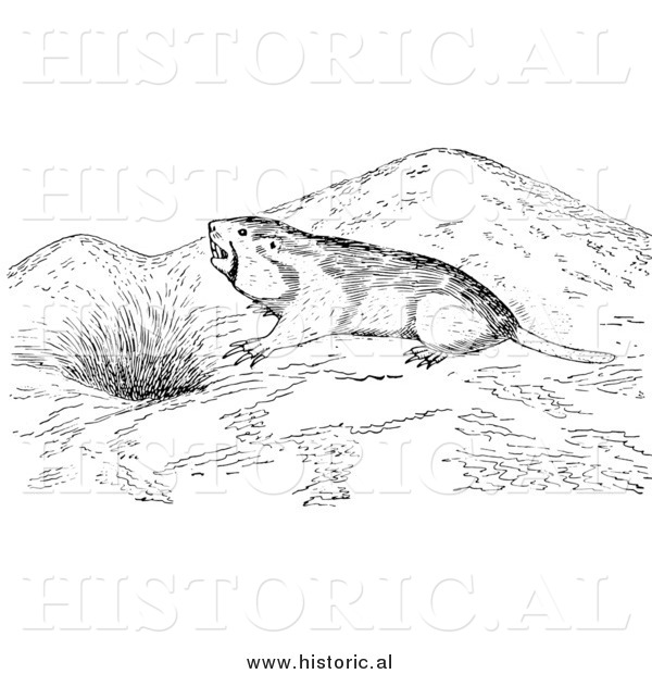 Illustration of a Wild Pocket Gopher Outside a Den - Black and White