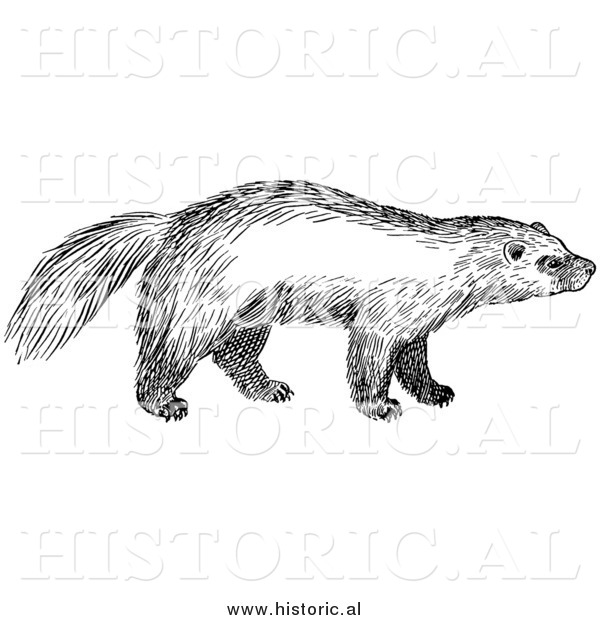 Illustration of a Wild Wolverine - Black and White