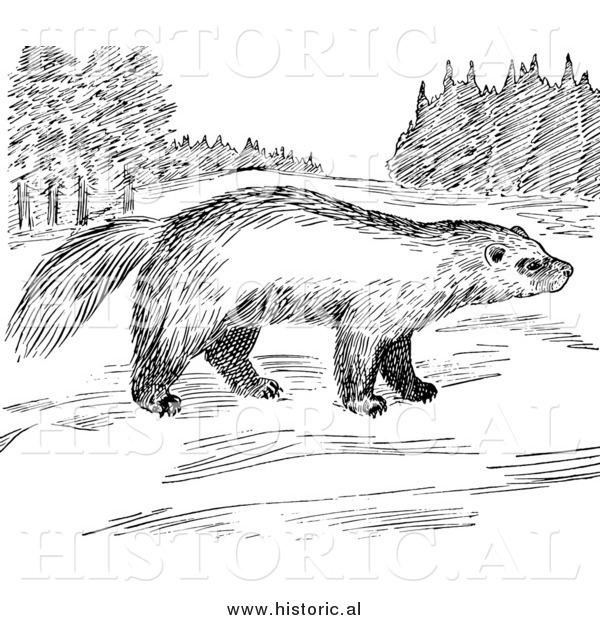 Illustration of a Wolverine Looking Around Meadow - Black and White