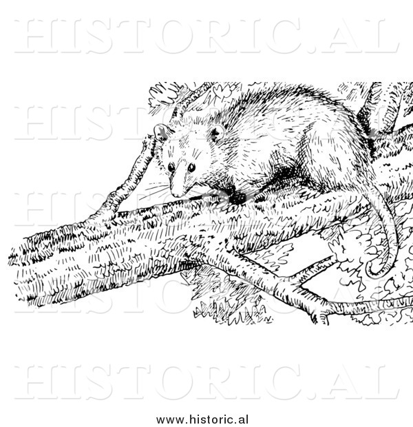 Illustration of an Opossum in a Tree - Black and White