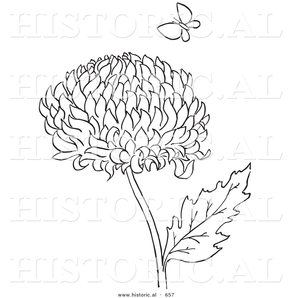 historical vector illustration of a chrysanthemum flower with coloring pages - Chrysanthemum Book Coloring Pages