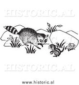 January 2nd, 2014: Clipart of a Raccoon Looking at Chipmunk - Black and White by Al