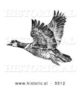 Historical Illustration of Aleutian Canada Geese Flying (Branta Canadensis Leucognaphalus) - Black and White Version by Al